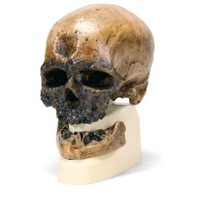 Anthropologischer Schädel - Homo sapiens ( Crô-Magnon )