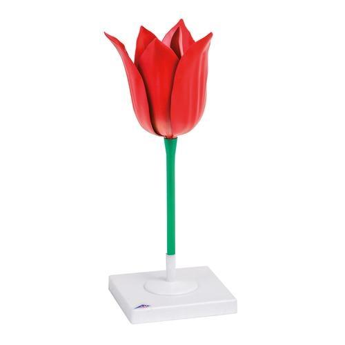 Modell Tulpe (Tulipa gesneriana)  3-fach vergrößert