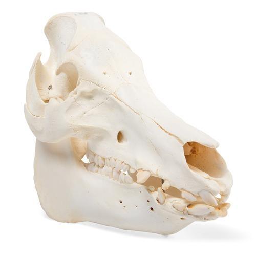 Hausschweineschädel (Sus scrofa domesticus), weiblich, Präparat