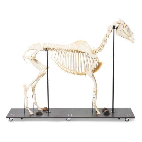 Pferdeskelett (Equus ferus caballus), weiblich, Präparat