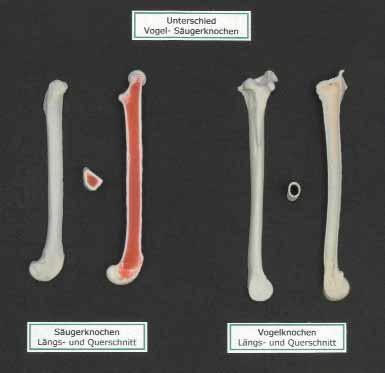 Modell Unterschied Vogel-Säugerknochen auf Platte