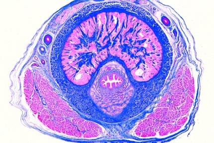 penis na mikroskopie