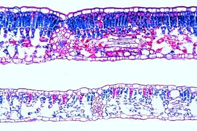 Mikropräparat Buche (Fagus silvatica), Sonnen- und Schattenblatt, quer