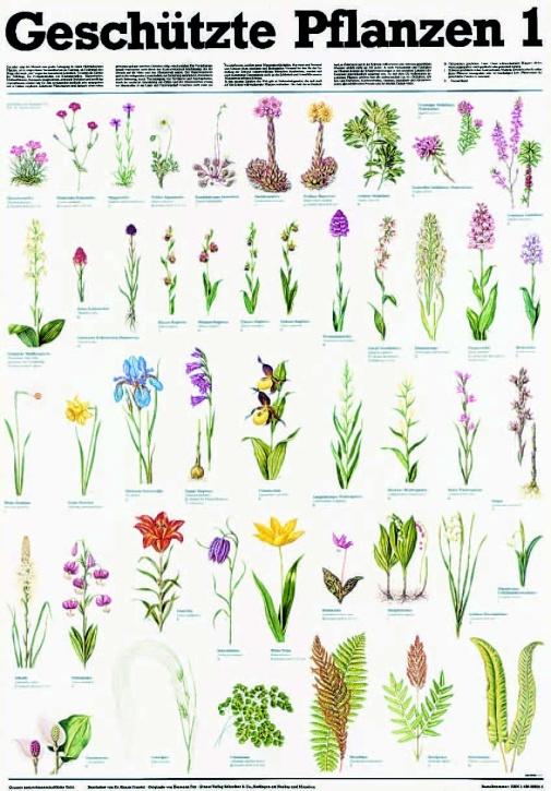 Lehrtafel Geschützte Pflanzen 1, als Poster