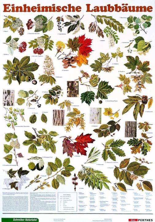 Lehrtafel Einheimische Laubbäume, als Poster