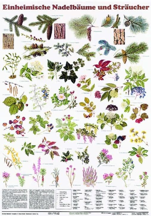 Lehrtafel Einheimische Nadelbäume und Sträucher, als Poster