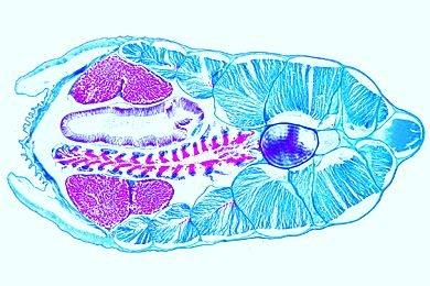 Mikropräparat - Branchiostoma, Körpermitte mit Kiemendarm, Leber und Gonaden, quer