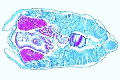 Mikropräparat - Branchiostoma, männliches Tier mit Hoden, quer