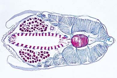 Mikropräparat - Branchiostoma, vorderer Schlund mit Kiemendarm und Chorda, quer