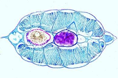 Mikropräparat - Branchiostoma, Darmregion quer