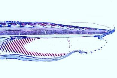 Mikropräparat - Branchiostoma, Kopfregion, median längs