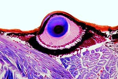 Salticus. Springspinne. Cephalothorax mit Teleskopaugen *
