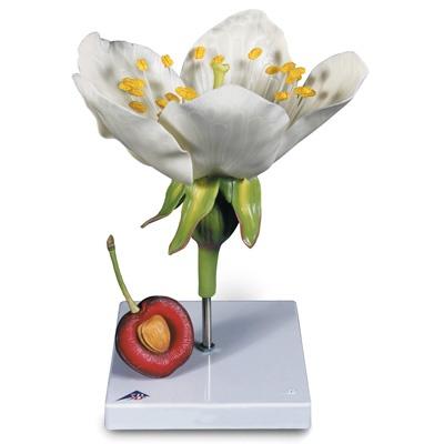 Kirschblüte mit Frucht (Prunus avium), Modell