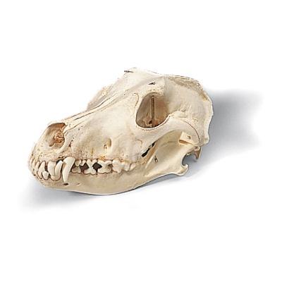 Hundeschädel (Canis lupus familiaris), Replikat