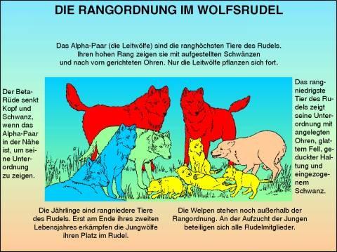 Rangordnung Wolfsrudel