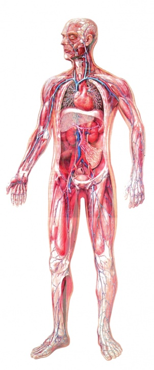 Anatomische Wandkarte Gefäßsystem