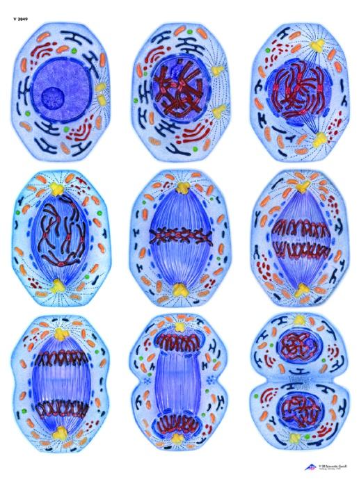 Anatomische Wandkarte Zellteilung I, Mitose