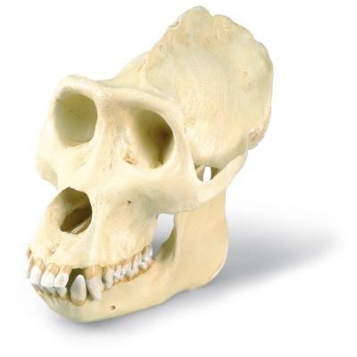 Gorilla gorilla masculum Replikat 3B Scientific VP762//1 Gorillasch/ädel