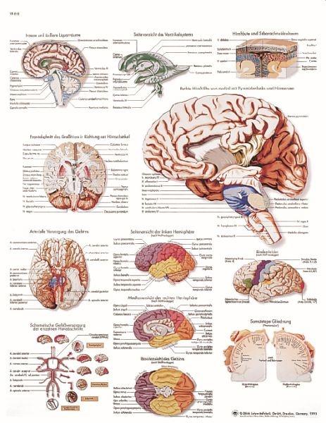 Anatomische Lehrtafel, Das menschliche Gehirn