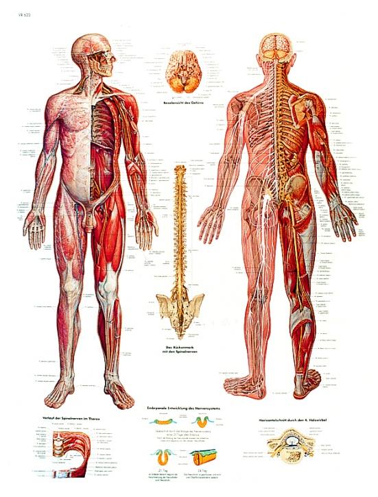 Anatomische Lehrtafel, Das Nervensystem