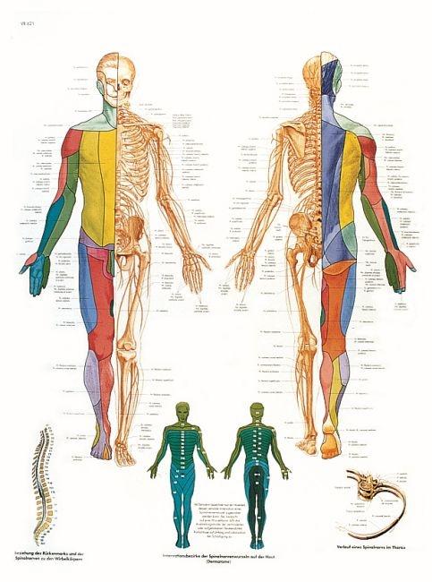 Anatomische Lehrtafel, Das periphere Nervensystem