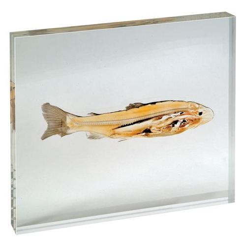 biologisches Scheibenplastinat–Echte Anatomie Forellenfisch (Salmonidae)