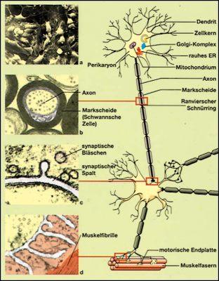 lehrmittel transparentmappe nerven gehirn drogenkonsum nervensystem. Black Bedroom Furniture Sets. Home Design Ideas