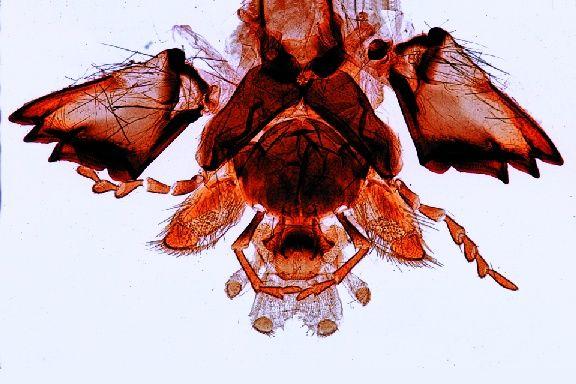 Mikropräparat Vespa Wespe beißende Mundwerkzeuge Invertebrata 2228e