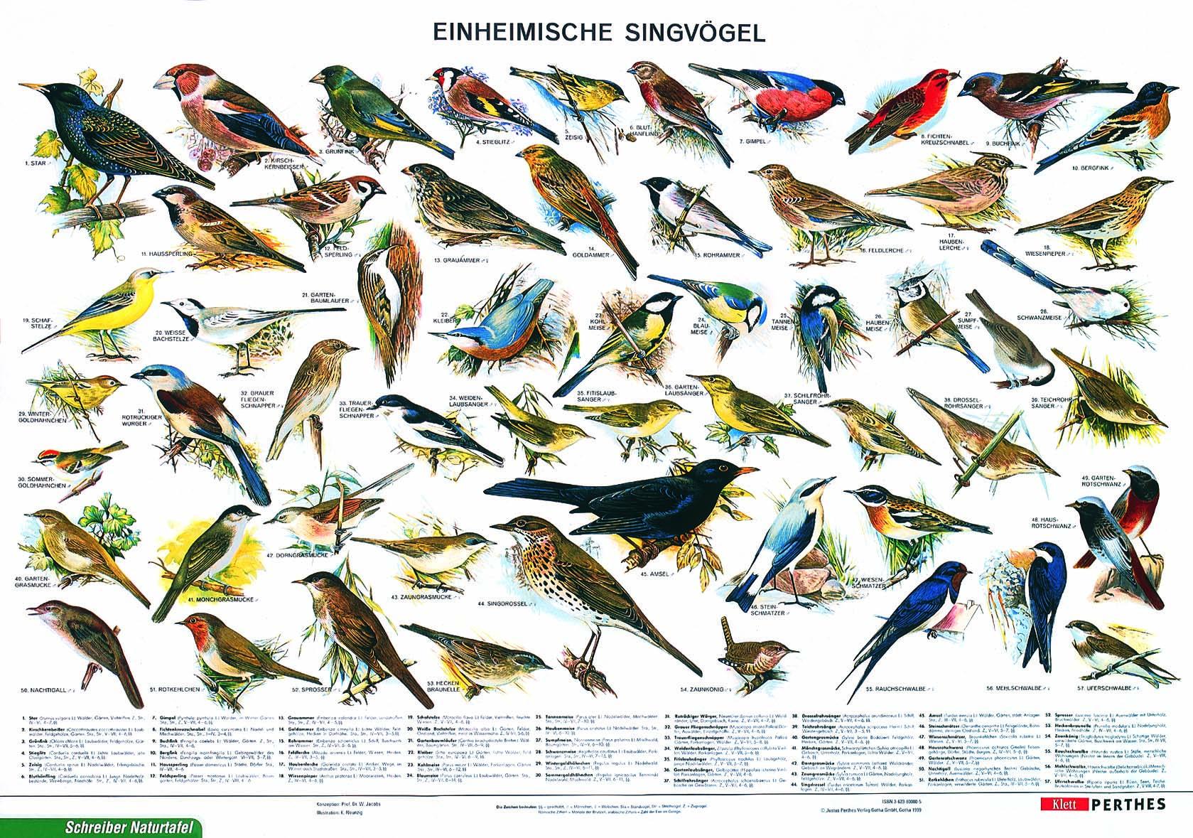 Lehrmittel Lehrtafel Einheimische Singvögel, als Poster 80082-0_schr