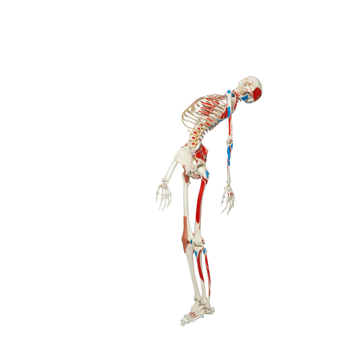 Lehrmittel Luxus-Skelett Sam Rollenstativ Skelettmodell A13 1013867