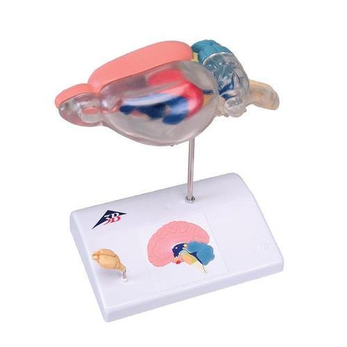 Lehrmittel Vergleichende Anatomie Ratte Menschliches Gehirn 1000230 C29