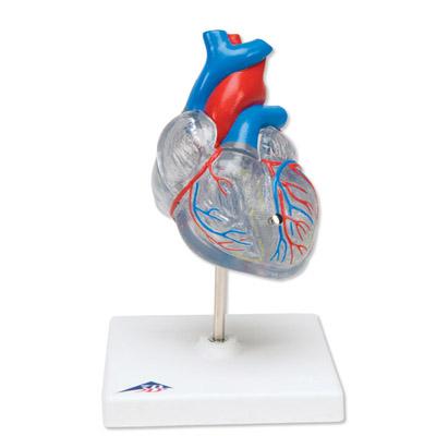 Lehrmittel Klassik-Herz mit Reizleitungssystem 2 teilig 1019311
