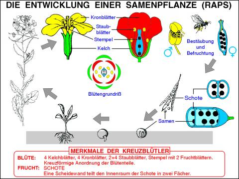 Transparentsatz Kreuzblütler und Kohlarten-T2020av