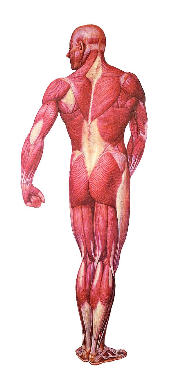 Anatomiekarte, Lehrtafel Die Muskulatur Rückseite, 84x200 cm ...