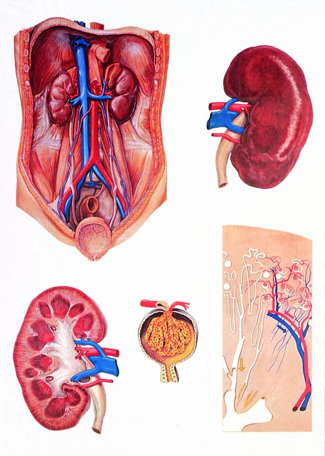 Anatomiekarte, Lehrtafel Die Niere, 84x118 cm, mit Holzbestäbung