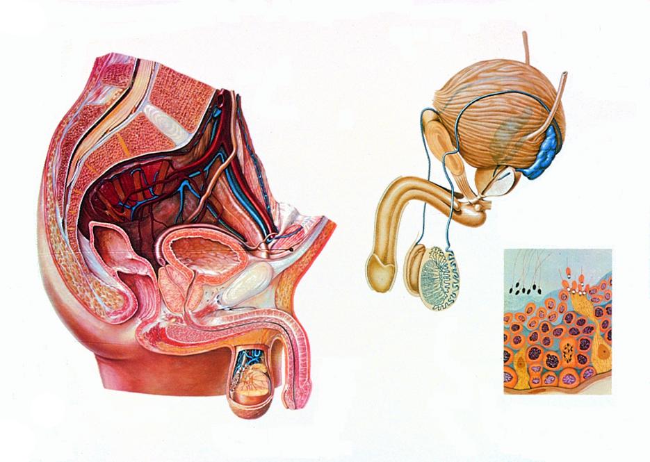 Lehrmittel Anatomische Wandkarte Beckenorgane des Mannes