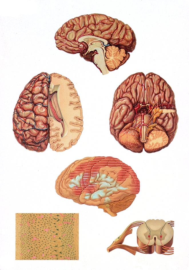Anatomiekarte, Lehrtafel Gehirn- Das Zentralnervensystem, 84x118 cm ...