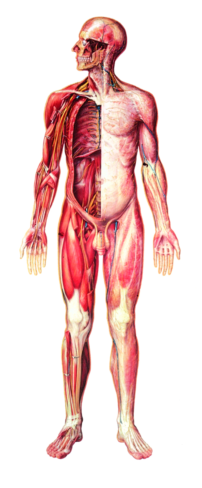 Anatomiekarte, Lehrtafel Das menschliche Nervensystem Vorderseite