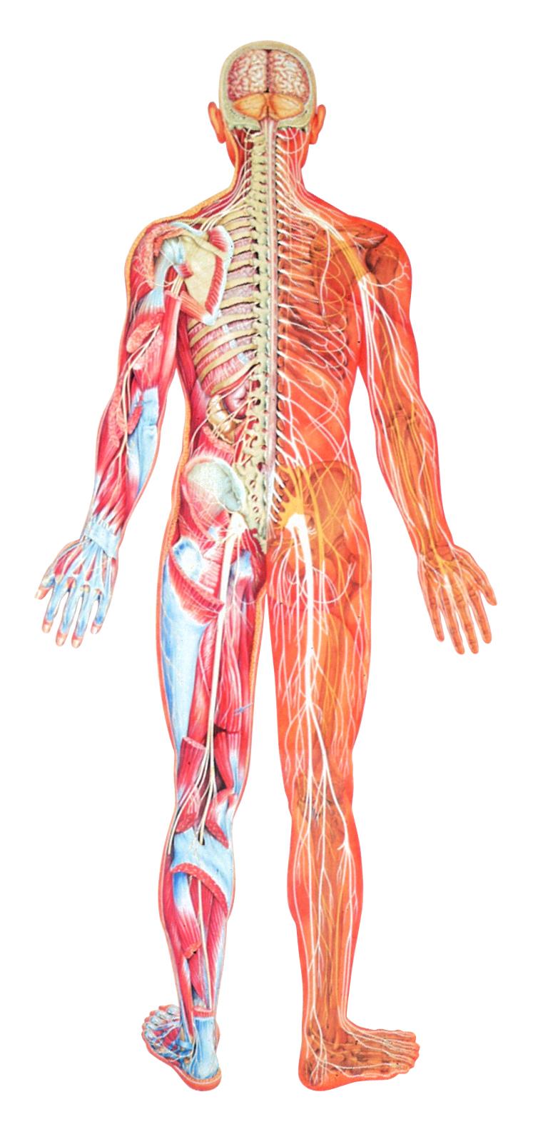 Anatomiekarte, Lehrtafel Das menschliche Nervensystem Rückseiteseite ...