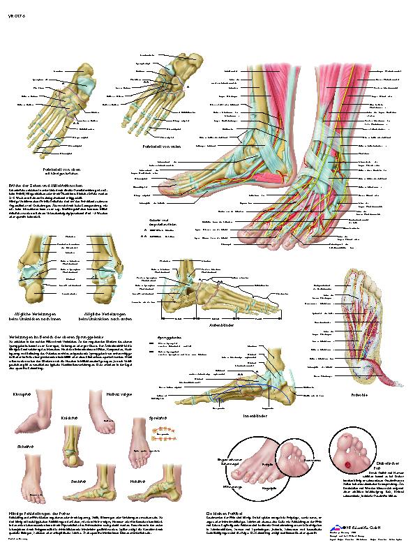 Lehrmittel Anatomische Lehrtafel Fuß und Fußgelenke 1001324_3B
