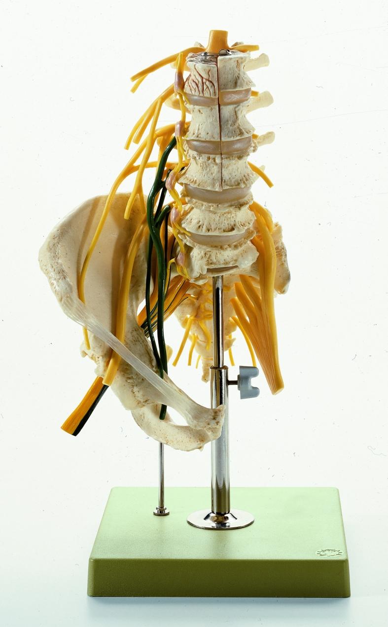 Lendenwirbelsäule mit Nerven