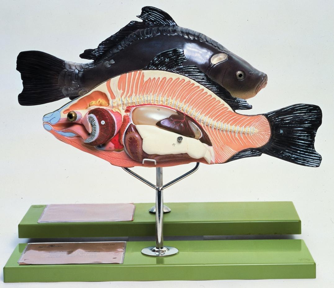 Lehrmittel SOMSO-Modell Anatomie beim Knochenfisch ZoS105