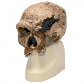 Anthropologischer Schädel - Homo steinheimnensis (Berkhemer, 1936)