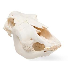 Rinderschädel (Bos taurus), ohne Hörner, Präparat