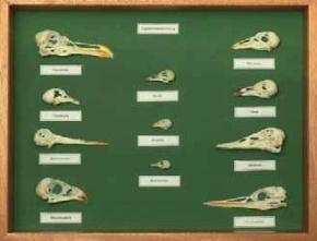 Skelett-Teile Vogelschädel - Sammlung