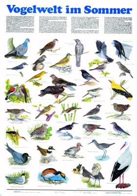 Lehrtafel Vogelwelt im Sommer, als Poster
