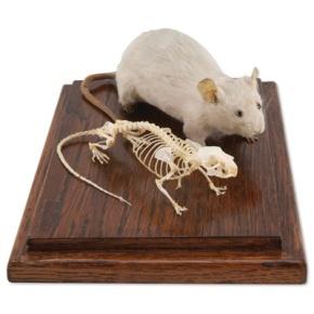 Maus und Mausskelett (Mus musculus) in Vitrine, Präparate