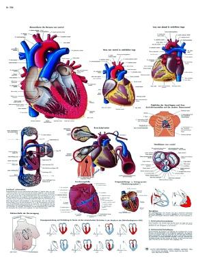 Anatomische Lehrtafel, Das menschliche Herz - Anatomie und Physiologie