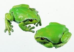 Modell Laubfrosch. Weibchen (2 Modelle)
