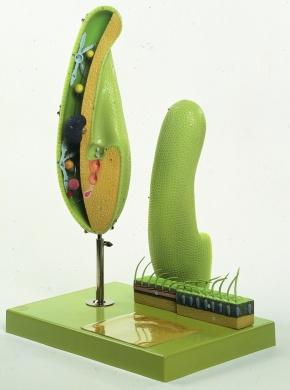 Modell Pantoffeltierchen